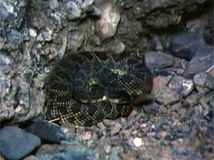 Rattlesnakes in Movies