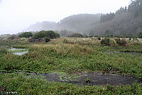 Northern Red-legged Frog Habitat