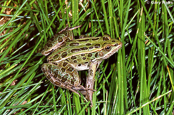 taxonomic classification of field frogs Species profile for chiricahua leopard frog (lithobates chiricahuensis)  is a source for authoritative taxonomic information on plants, .