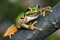 Northern Pacific Treefrog