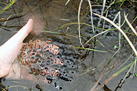Northern Red-legged Frog Eggs