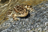 Southern Mountain Yellow-legged Frog