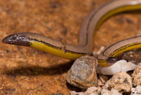 California Legless Lizard
