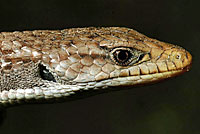 Sierra Alligator Lizard