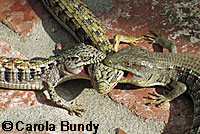 San Diego Alligator Lizards