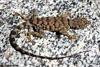 Mearns' Rock Lizard