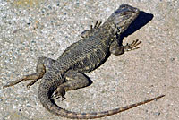 Coast Range Fence Lizard