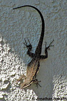 Colorado River Tree Lizard