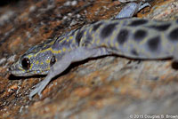 Granite Night Lizard