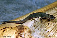 Baja California Night Lizard