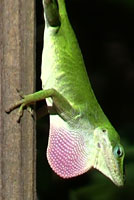 Northern Green Anole