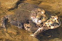 california toad life cycle video
