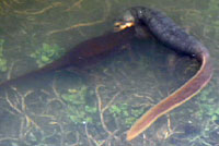 California Newts