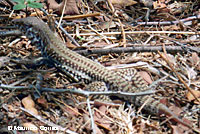 Cape Giant Whiptail