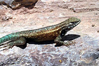 Cape Spiny Lizard