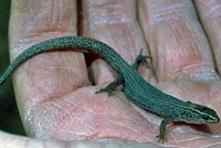 Wiggins' Night Lizard