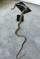 Baja California Gopher Snake