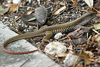 Giant Whiptail