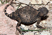 Round-tailed Horned Lizard