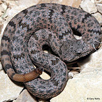 Mottled Rock Rattlesnake