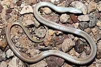 Big Bend Patch-nosed Snake