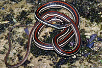 Red-striped Ribbon Snake