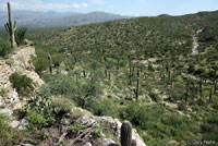 Chihuahuan Greater Earless Lizard habitat