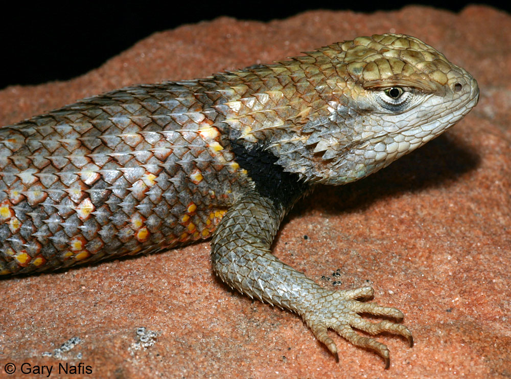 Desert Spiny Lizard Orange-headed spiny lizard