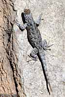 Sonoran Spiny Lizard