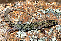 Arizona Night Lizard