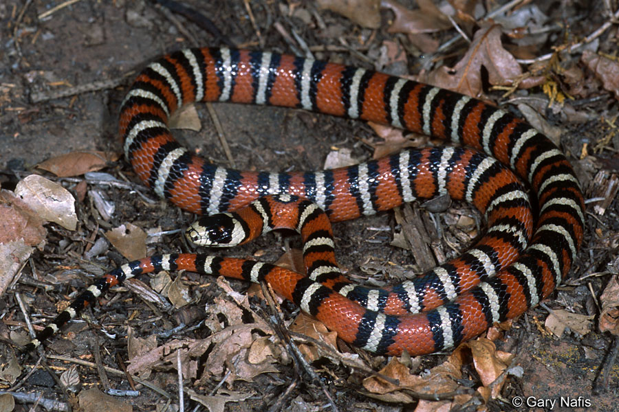 California Mountain Kingsnake - Lampropeltis zonata