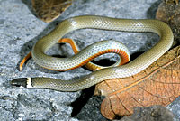 Chihuahuan Black-headed Snake