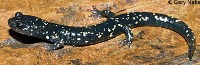 Speckled Black Salamander