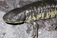 Barred Tiger Salamander