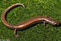 Fairview Slender Salamander