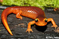 Yellow-eyed Ensatina