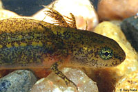 Rough-skinned Newt larva