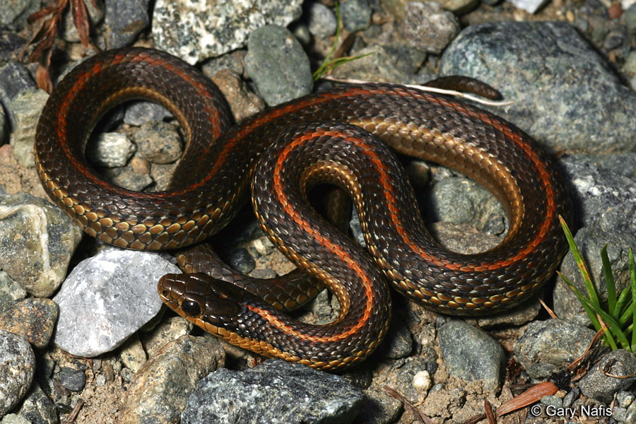 Identifying California Gartersnakes