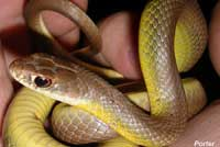 western yellow-bellied racer