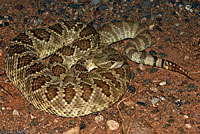Northern Mohave Rattlesnake