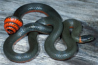 Pacific Ring-necked Snake