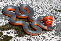 Coral-bellied Ring-necked Snake