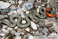 Regal Ring-necked Snake