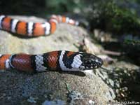 Coast Mountain Kingsnake