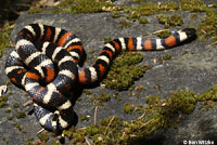 St. Helena Mountain Kingsnake