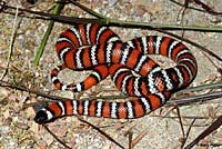 San Bernardino Mountain Kingsnake
