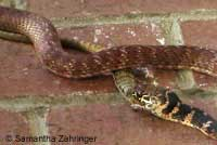Red Coachwhip eating San Diego Alligator Lizard