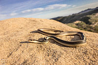 Coast Patch-nosed Snake