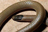 Smith's Black-headed Snake