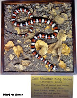 Coast Mountain Kingsnake Habitat Museum Exhibit